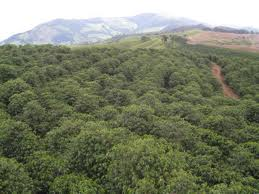 coffee plantation in brazil